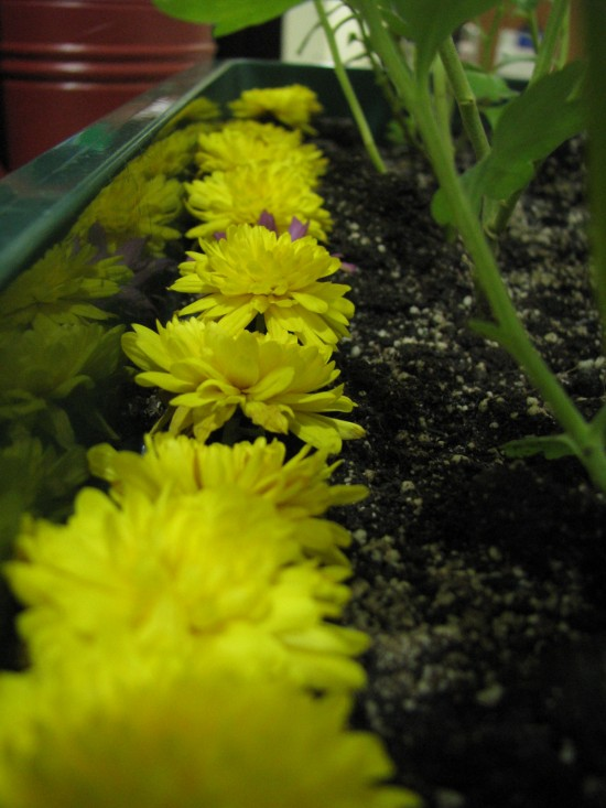 My row of dead flowers. It isn't morbid, is it? Hahaha!