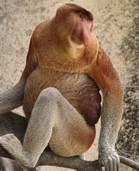 The-Proboscis-Monkey